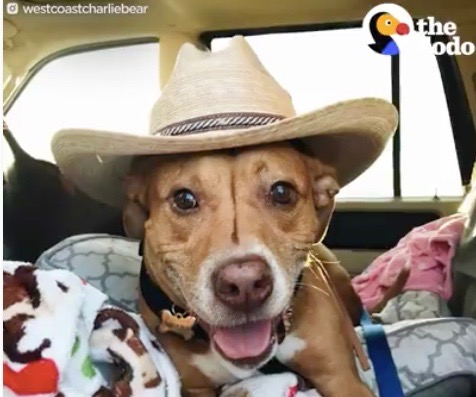 brown dog wearing cowboy hat laying in bed in car